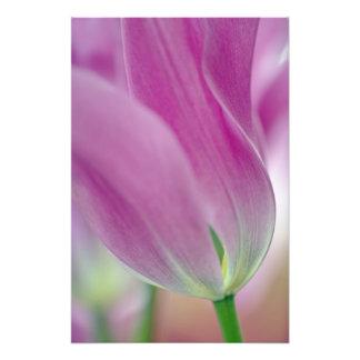 チューリップの花、2の下側のクローズアップ フォトプリント