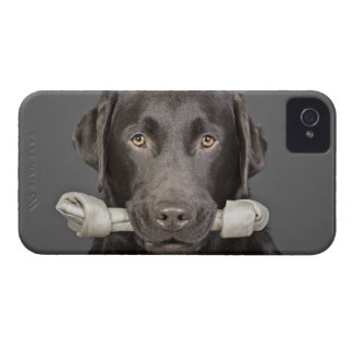 チョコレートラブラドルの運ぶことのスタジオのポートレート Case-Mate iPhone 4 ケース