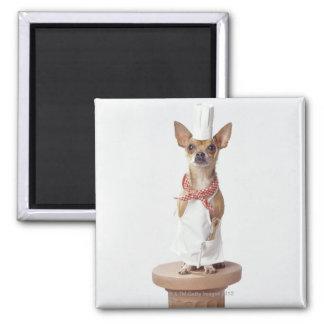チワワ犬の身に着けているシェフの白、スタジオの打撃 マグネット