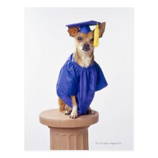 チワワ犬の身に着けている卒業のユニフォーム、スタジオ ポストカード