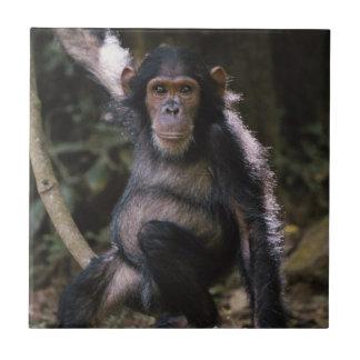 チンパンジーの若い女性 タイル