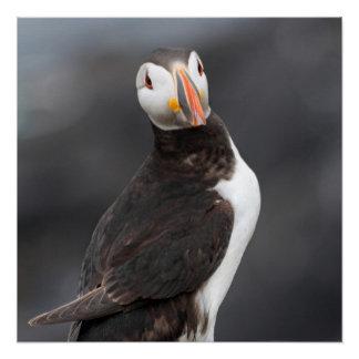ツノメドリの鳥ポスター ポスター