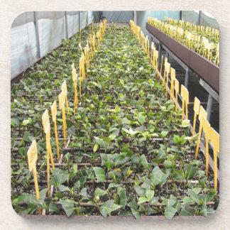 ツバキのjaponicaの花の温室の耕作 コースター
