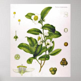 ツバキのSinensis Thea Sinensisの茶木ポスター ポスター