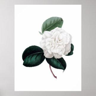ツバキ、白い花、植物のプリント ポスター