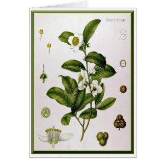 ツバキSinensis (茶木) カード