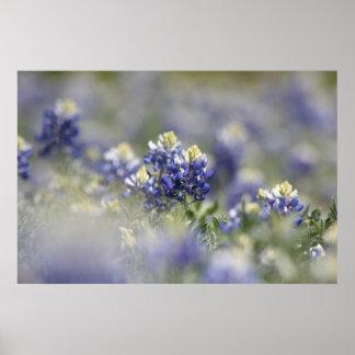 テキサス州Bluebonnetsの写真シリーズ#5 ポスター