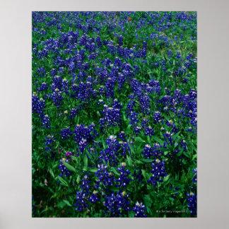 テキサス州Bluebonnetsの分野 ポスター