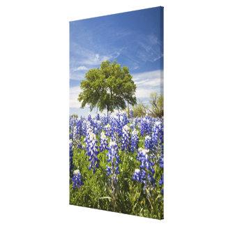 テキサス州bluebonnets (lupinusのtexensis)およびカシ キャンバスプリント