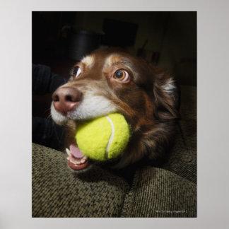 テニス・ボールを持つ犬 ポスター