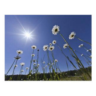 デイジーの花および日が差すことの低い角度眺め ポストカード