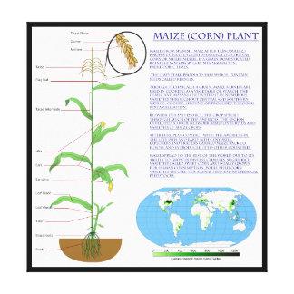 トウモロコシのトウモロコシ植物の図表 キャンバスプリント