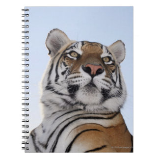 トラ(ヒョウ属チグリス川)の低い角度眺めとの ノートブック