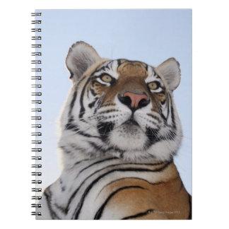 トラ(ヒョウ属チグリス川)の低い角度眺め ノートブック