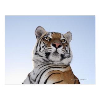 トラ(ヒョウ属チグリス川)の低い角度眺め ポストカード