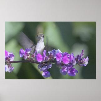 トーマス・ジェファーソンのつる植物のハチドリ ポスター