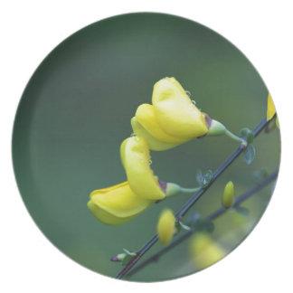 ドイツのGreenweedの薮、Genistaのドイツ語の花 プレート