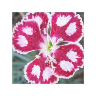ナデシコの赤い白い花 キャンバスプリント