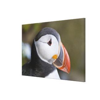 ニシツノメドリ、示されている遠洋の海鳥 キャンバスプリント