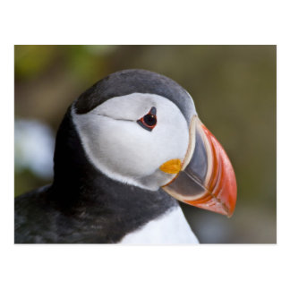 ニシツノメドリ、示されている遠洋の海鳥 ポストカード