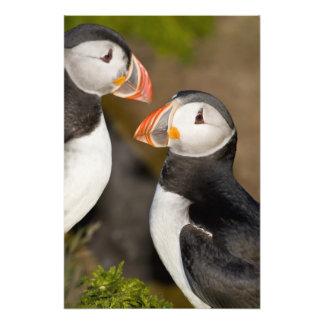 ニシツノメドリ、3つを示されている遠洋の海鳥 フォトプリント
