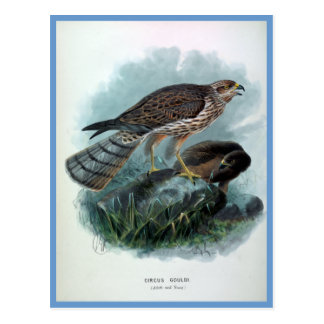 ニュージーランドのハリアーのヴィンテージの鳥のイラストレーション ポストカード