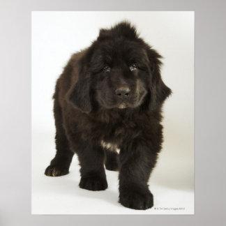 ニューファウンドランドの子犬、スタジオの打撃 ポスター