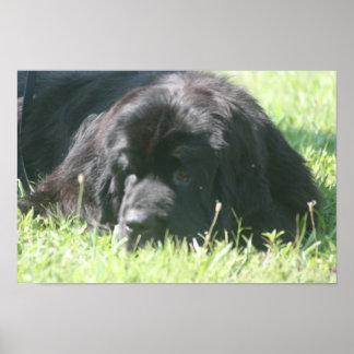 ニューファウンドランド犬の写真のプリント ポスター