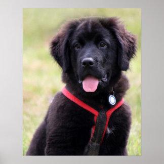ニューファウンドランド犬の子犬のかわいい写真の美しいプリント ポスター