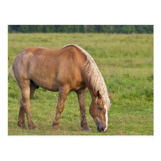 ニューブランズウィック、カナダ。 分野の馬 ポストカード