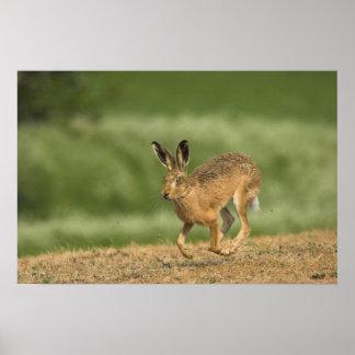ノウサギのポスターかプリント ポスター