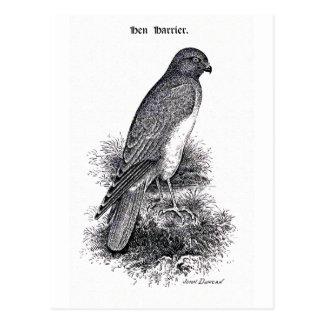 ハイイロチュウヒのヴィンテージの鳥のイラストレーション ポストカード