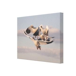 ハクガンの鳥の野性生物動物飛行 キャンバスプリント