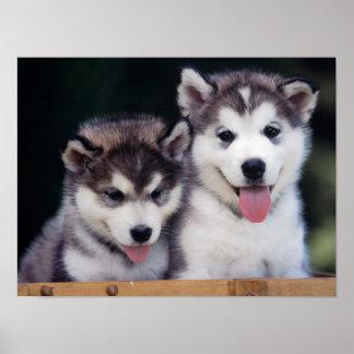 ハスキーな子犬ポスター ポスター