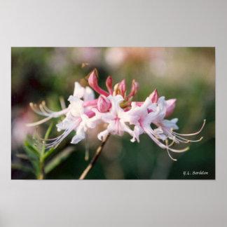 ハニーサックルのツツジの野生の花 ポスター