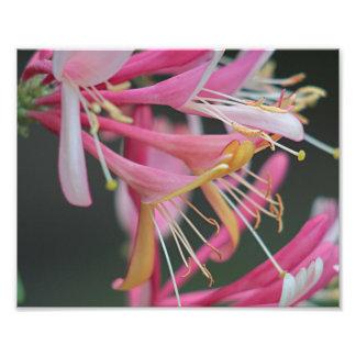 ハニーサックルの花 フォトプリント