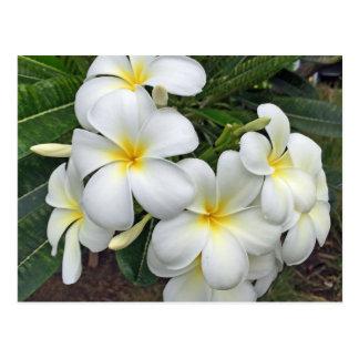 ハワイのプルメリアの花 ポストカード