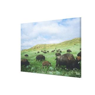 バイソンの群れによってはセオドアで草原草が牧草を食べます キャンバスプリント