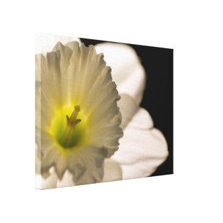 バックリットの白いラッパスイセンの花 キャンバスプリント