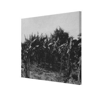 バナナの耕作、トリニダード、c.1891 キャンバスプリント