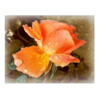バラの雨滴..... ポストカード
