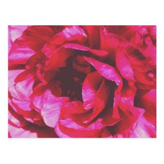 バラ色のばら色の郵便はがき ポストカード