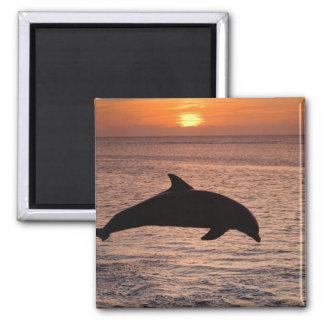 バンドウイルカのハンドウイルカ属のtruncatus) 13 マグネット
