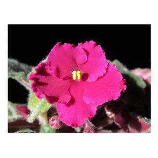バーガンディのアフリカバイオレットの花 ポストカード