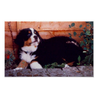 バーニーズ・マウンテン・ドッグの子犬ポスター ポスター