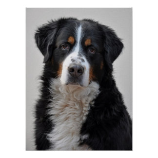 バーニーズ・マウンテン・ドッグの美しい写真のプリント ポスター
