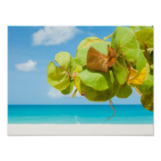 バーブーダの海のブドウ ポスター