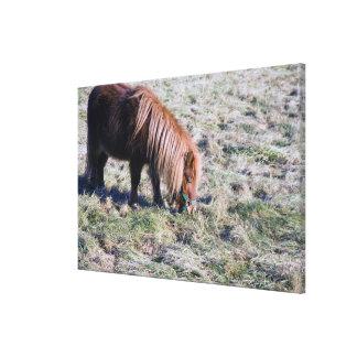パドックで牧草を食べているかわいい子馬 キャンバスプリント