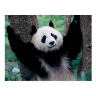 パンダの幼いこども、Wolong、四川の中国 ポストカード