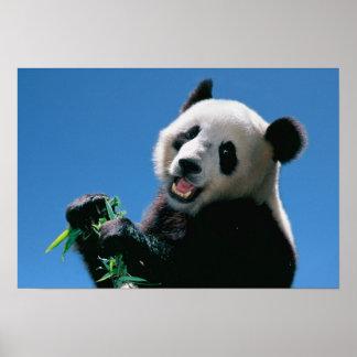 パンダの食べ物のタケ、Wolong、四川の中国 ポスター